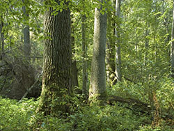 Old natural decidous forest